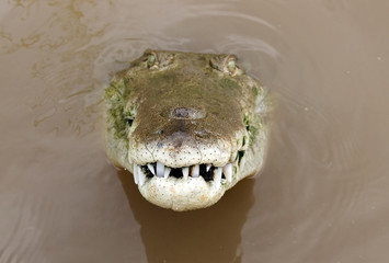 """ tornado "" costa rica's largest american crocodile 3"