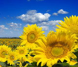 Some yellow sunflowers against a wide field and the blue sky - Fine Art prints