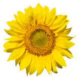 refined main part of isolated sunflower poster