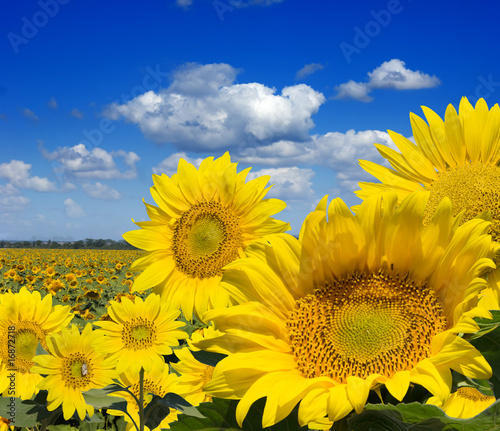 Some yellow sunflowers against a wide field and the blue sky