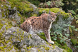 lince in attesa