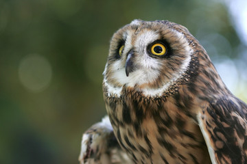 The majestic short eared owl.