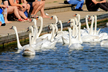 Flock of swans taking the food from people on the lakeshore