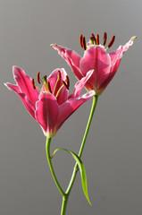 zwei Lilienblüten Stargazer Lilie