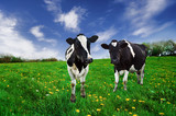 Friesian Dairy cows in a pasture. poster