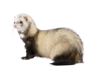 Side view of ferret standing in front of white background