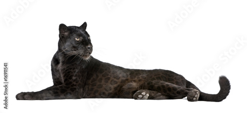 Fotobehang Luipaard Black Leopard, 6 years old, in front of a white background