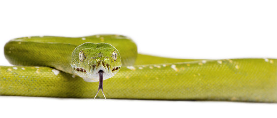 Portrait of green tree python, in front of white background