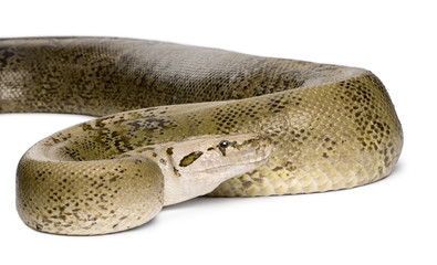 Burmese Python, in front of a white background,10 years old