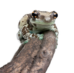 Amazon Milk Frog in front of white background