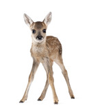 Roe Deer Fawn, standing against white background