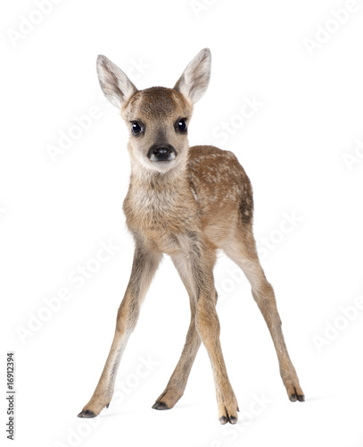Fotobehang Ree Roe Deer Fawn, standing against white background