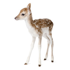 Side view of Fallow Deer Fawn, standing against white background