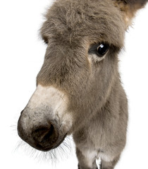 Close-up portrait of donkey foal, against white background