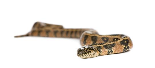 Green Whip Snake, against white background, studio shot