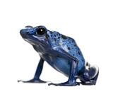 Blue Poison Dart frog, against white background, studio shot poster
