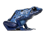 Side view of Blue Poison Dart frog, against white background poster