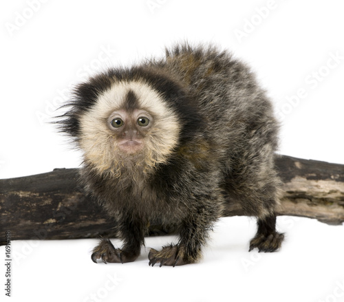Young White-headed Marmoset, in front of white background,