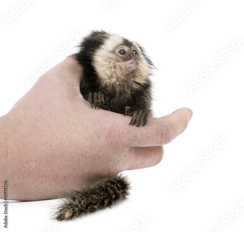 Person holding young White-headed Marmoset