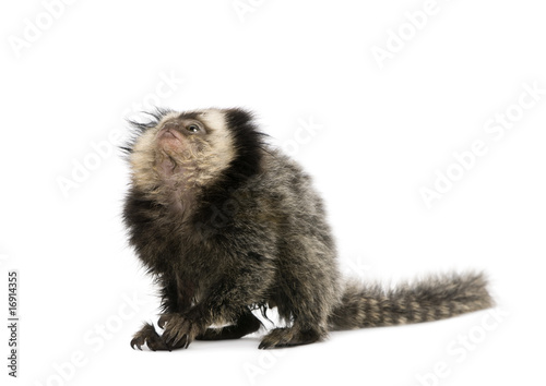 Young White-headed Marmoset, in front of white background