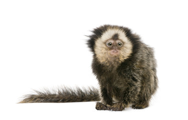 White-headed Marmoset, in front of white background