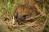 Hedgehog hidden in the grass looking for food poster