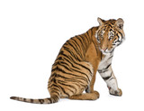 Bengal Tiger, sitting in front of white background, studio shot poster
