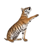Bengal Tiger, reaching in front of white background, studio shot poster