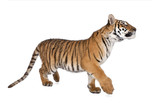 Bengal Tiger,1 year old, walking in front of white background poster