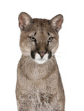 Portrait of Puma cub, against white background, studio shot