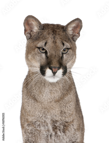 Portrait of Puma cub, against white background, studio shot