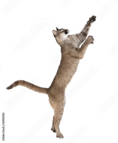 Papiers peints Puma Puma cub, reaching against white background, studio shot