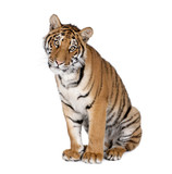 Bengal Tiger, sitting in front of white background, studio shot
