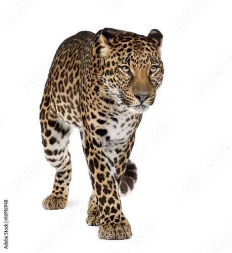 Staande foto Luipaard Leopard walking against white background, studio shot