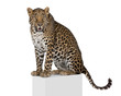 Leopard on pedestal against white background, studio shot