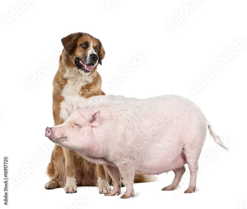 Gottingen minipig and dog in front of white background