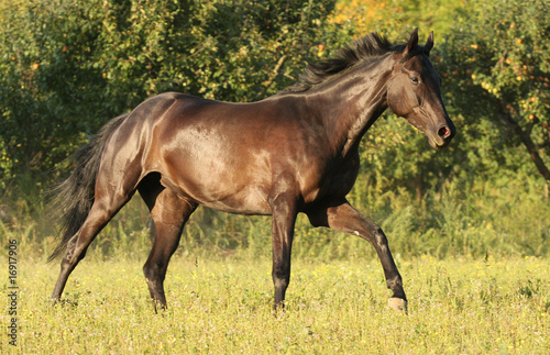 Bay horse running on meadow