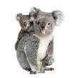 Portrait of Koala bears,  in front of white background - 16918142