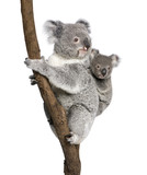 Koala bears climbing tree, in front of white background