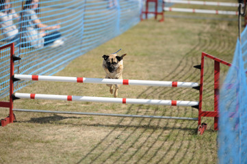 Pug demonstrating agility by jumping over hurdle at dog show