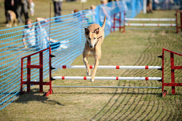Greyhound jumping over a hurdle at a dog show