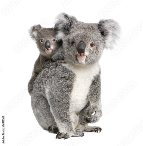 Fotobehang Koala Portrait of Koala bears, in front of white background