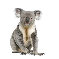 Portrait of male Koala bear, in front of white background