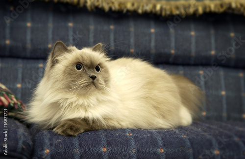 Persian cat laying on couch