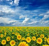 Fototapeta yellow field of sunflowers
