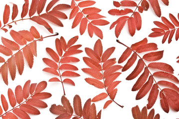 Red autumn rowan-berry leafs isolated on white