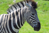 Zebra a Hemmingford safari park Quebec Canada
