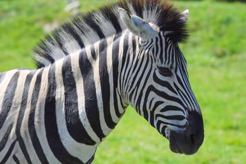 Zebra a Hemmingford safari park Quebec Canada