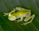 Fototapety beautiful costa rican reticulated glass frog 5