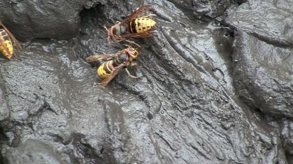 Buzzing hornets (Hymenoptera, Vespidae, Vespa crabro)